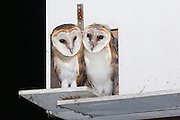 Israel, Barn Owl (Tyto alba) coop in the fields. Young hatchlings awaiting the return of their parents. The Barn Owl is used by the farmers in Israel as a natural pest control. Barn Owls are one of the most economically valuable wildlife animals to farmers. Farmers often find these owls more effective than poison in keeping down rodent pests, and they can encourage Barn Owl habitation by providing nest sites.
