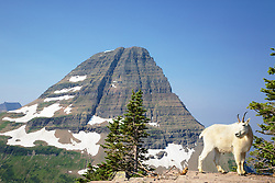 Mountain Goat, Bearhat  Mountain, Hidden Lake Trail, Glacier National Park
