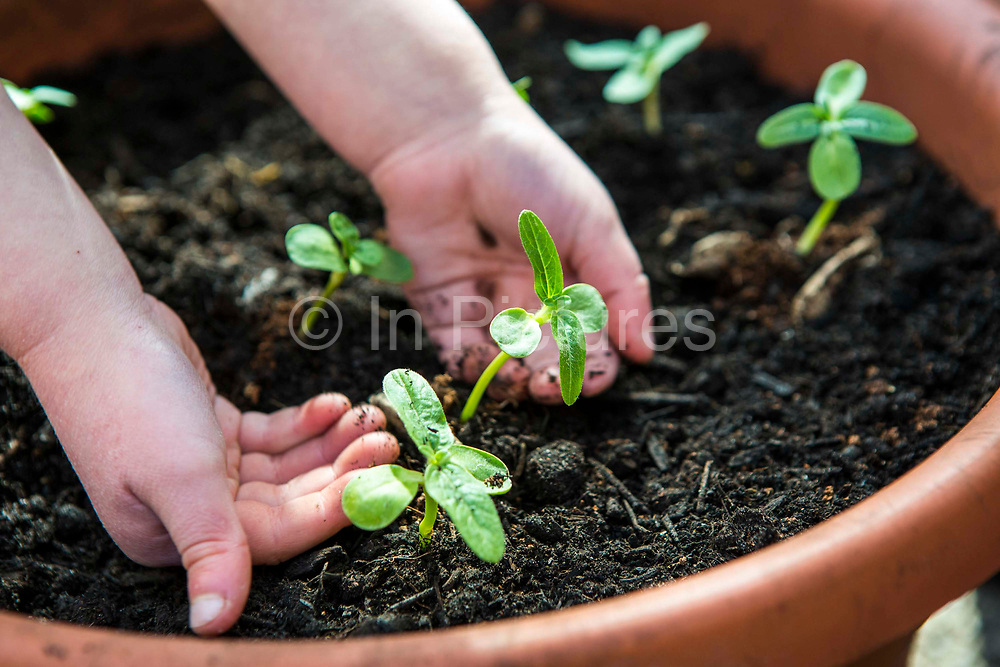 Two small hands of a young child pats earth around a seedling they have just planted in a large flower pot.