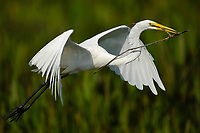 Great Egret Ardea alba in flight with nesting stick Green Cay Nature Centre Delray Beach Florida USA