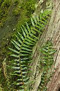 Several fronds of a western sword fern (Polystichum munitum) climb the base of a western red cedar (Thuja plicata) tree on Bainbridge Island, Washington.