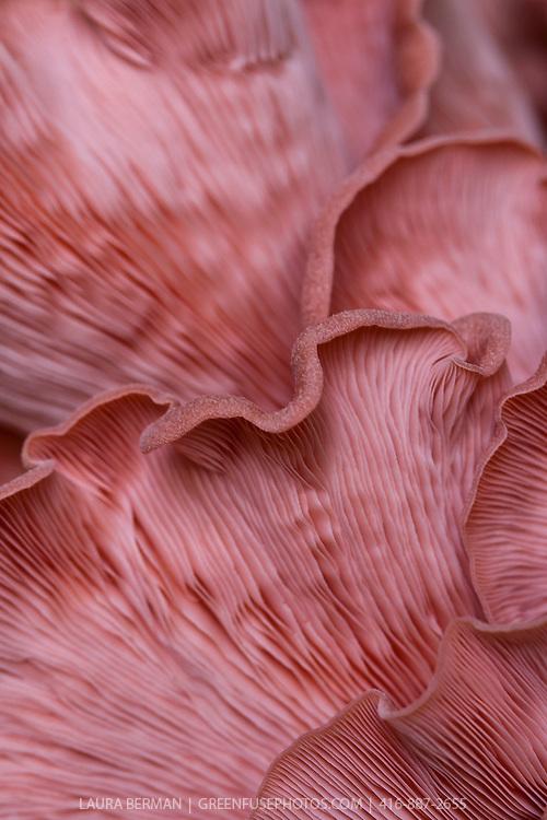 Pink Oyster Mushrooms (Pleurotus djamor)