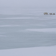 Mother polar bear and cubs wandering and waiting for the ice to freeze on Hudson Bay, Cape Churchill, Canada.