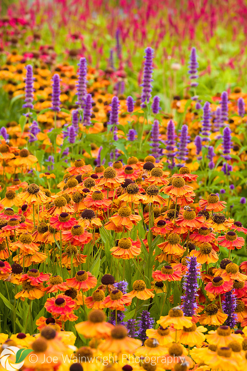 Heleniums and agastaches in the main borders at RHS Harlow Carr, Harrogate, North Yorkshire, photographed in August