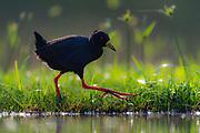 Black crake (Amaurornis flavirostra) fro0m Zimanga, South Africa.
