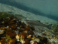Steelhead (smolt)<br /> <br /> Todd Pearsons/Engbretson Underwater Photography