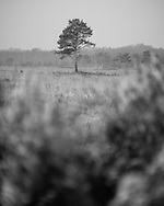 A pine tree stands alone on the heathland at Whitmoor Common near Guildford, UK, on 9th Aptil 2015. Picture by Andrew Tobin/Tobinators Ltd