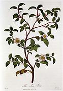 Tea:  Branch of Camellia sinensis. Hand-coloured engraving, London, 1798.