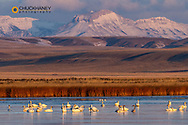 Tundra Swans with Ear Mountain in background during spring migration at Freezeout Lake WMA near Choteau, Montana, USA
