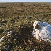 Snowy Owl (Bubo scandiacus) adult feeds chicks in the nest. Barrow, Alaska
