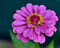 Purple Zinnia Flower. Image taken with a Fuji X-H1 camera and 80 mm f/2.8 macro lens