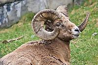 May 13, 2007 -- Calgary, Alberta Canada.  Bighorn Sheep at the Calgary Zoo.