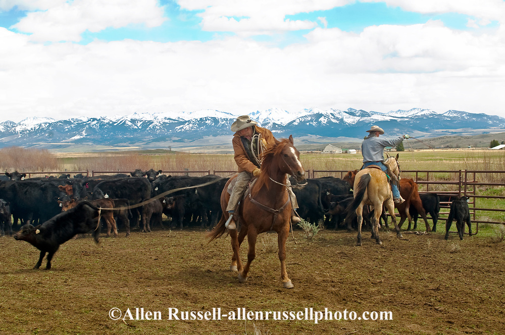 Cowboys Randy Jackson and Lyle Woosley rope and drag calves to the fire to be branded, Wilsall, Montana, Crazy Mountains,<br /> MODEL RELEASED, PROPERTY RELEASED