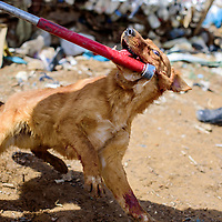 042415       Cable Hoover<br /> <br /> A dog struggles against the catchpole as she is seized during an inter-agency roundup of dogs at a private residence in Candy Kitchen Friday.