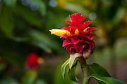 Ginger Flower, Olu Pua Gardens, Kalaheo, Kauai, Hawaii