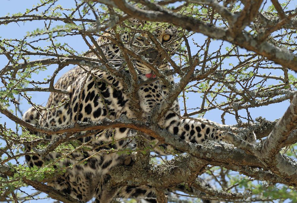 Leopard, Panthera pardus, Serengeti NP, Tanzania