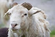 Goshen, New York - Animals at Banbury Cross Farm on June 6, 2014.
