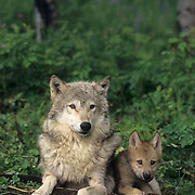 Gray Wolf, (Canis lupus) Mother with pup. Rock mountains. Montana. Captive Animal.