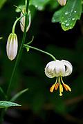 Lilium martagon var (Martagon lily or Turk´s cap). Photographed in Latvia