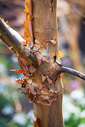 The peeling bark of Acer griseum AGM, Paperbark maple