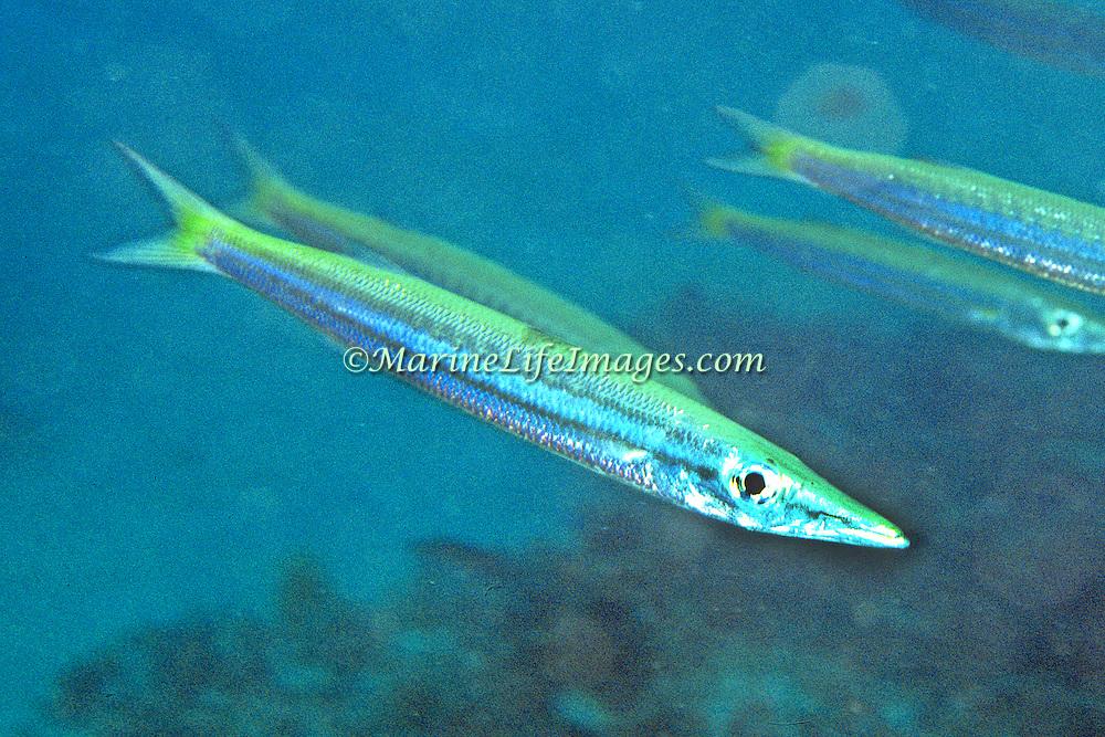 Obtuse Barracuda form schools above coastal reefs