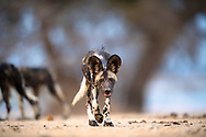 Taken in Mana Pools in 2016, this is one of Blacktip's pups that came right up to investigate me as I lay flat on the ground when the pack walked passed.