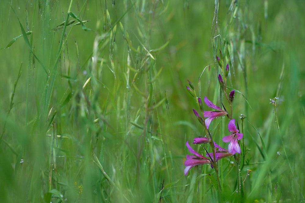 Field Gladiolus  (Gladiolus italicus), Limassol, Cyprus