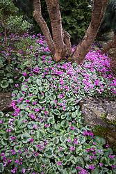 Cyclamen coum in John Massey's garden at Ashwood Nurseries in spring.