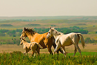 Wild mustangs, Black Hills Wild Horse Sanctuary, Hot Springs, South Dakota USA