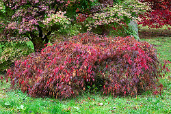 Acer palmatum 'Inaba-shidare' AGM -  Dissectum group - Japanese maple