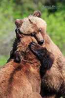 A male and female grizzly bear play together at the start of their courtship, Khutzeymateen Grizzly Bear Sanctuary, BC, Canada