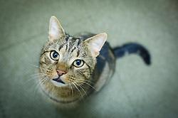 Tabby cat looking upward, Leicester, England, UK.