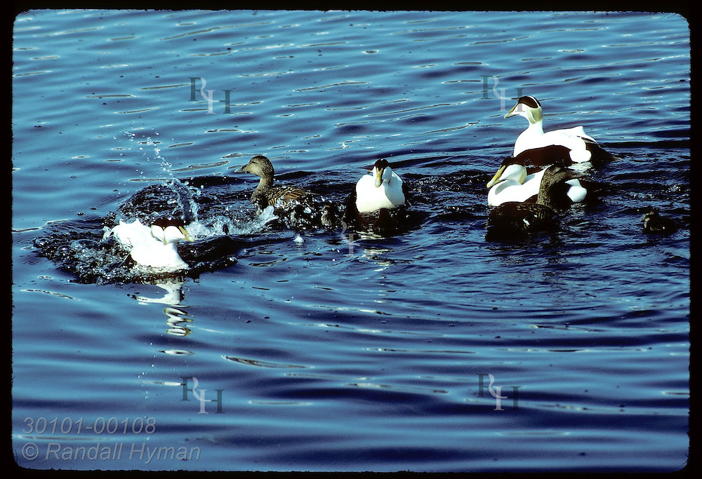 Eider ducks & ducklings are trailed by males as they swim in the sea at Vigur Island in June. Iceland