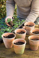 Potting on primroses. Transferring young plants from tray to terracotta pots