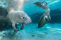 Florida manatee, Trichechus manatus latirostris, a subspecies of the West Indian manatee, endangered. An adult rests and warms in blue freshwater and sunlight while surrounded by fish, bream, Lepomis spp. An active female calf is nearby. The adult manatee is tolerating the fish attention as it is the price to pay for sharing the warm waters. Bream are targeting dermis and dead skin on the manatee. Horizontal orientation with warming sun rays and reflection. Three Sisters Springs, Crystal River National Wildlife Refuge, Kings Bay, Crystal River, Citrus County, Florida USA.