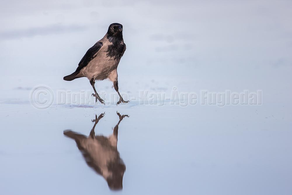 This crow were walking on a wet sandy beach. The water on the sand made the beach into a mirror with god reflection oportunities   Dene kråken gikk på en våt sandstrand. Vatnet på sanden gjorde stranda om til et stort speil med gode muligheter for refleksjonsbilder.