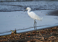 Snowy Egret (Egretta thula) hunting along lakeshore Lake Chapala, Ajijic, Jalisco, Mexico. Photo: Peter Llewellyn