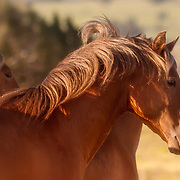 Wild Mustang beauty, Sandoval County, New Mexico