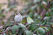White-crowned Sparrow (Zonotrichia leucophrys) perched in some blackberry plants.  This White-crowned Sparrow was with a flock of the same species that moved from bush to bush looking for bugs to eat.  Photographed at Boundary Bay Regional Park in Delta, British Columbia, Canada.