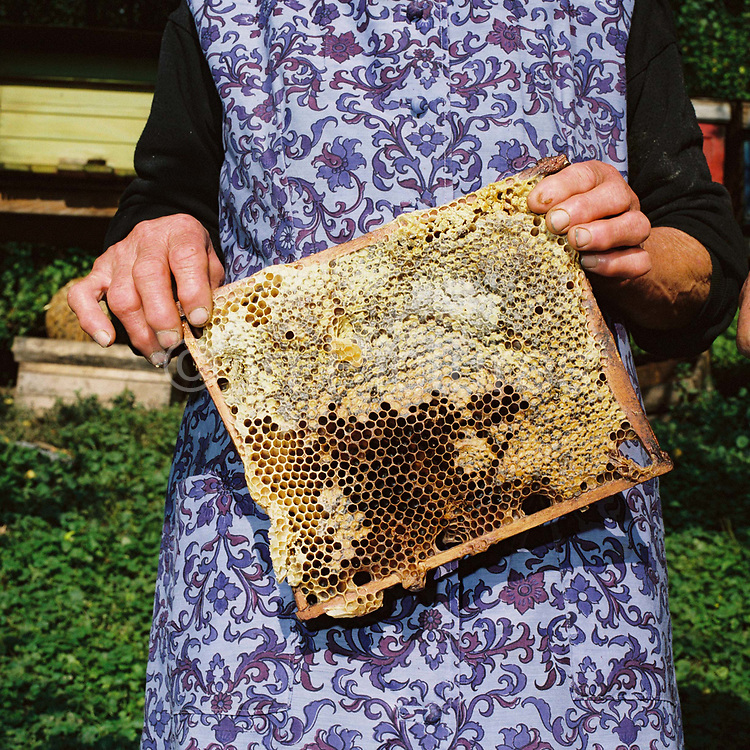 Margareta Babeti, a Romanian peasant farmer holds honeycomb from the beehives in her garden, Bunesti, Romania