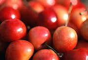 Close up selective focus photograph of a pile of Rainier Cherries