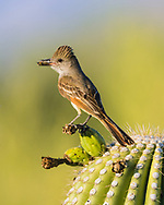A Brown-crested Flycatcher, (Myiarchus tyrannulus brings food to a nest in a Saguaro (Carnegiea gigantea). Tucson