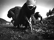 Bulgaria, planting potatoes