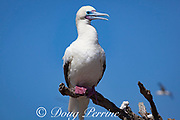 red-footed booby, Sula sula, white color morph, Eastern Island, Midway Atoll, Midway National Wildlife Refuge, Papahanaumokuakea Marine National Monument, Northwest Hawaiian Islands, USA ( North Pacific Ocean )