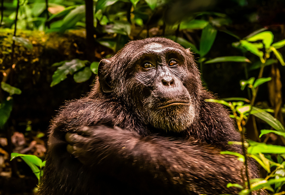 """An alpha male chimpanzee, Kibale Forest National Park, Uganda. The chimp had been orphaned and was raised by other dominant males.                                                  Known as """"The Primate Capital of the World"""" Kibale has the largest number of primates of any national park in the world."""