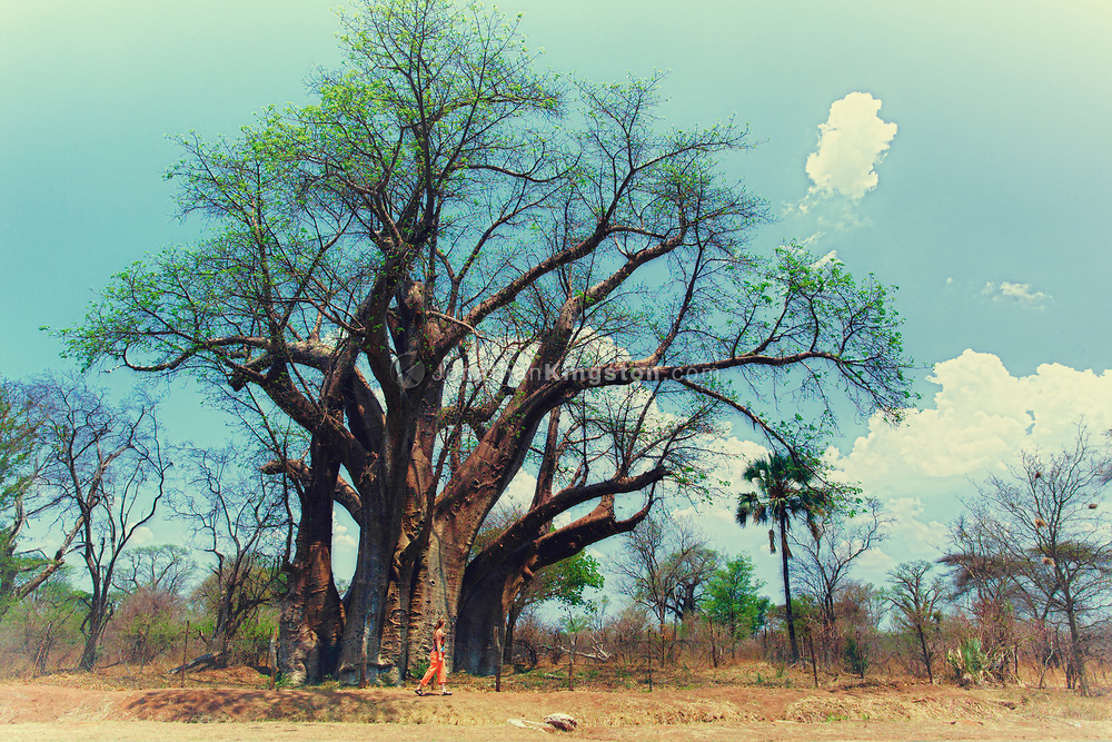 Near Victoria Falls National Park, a young woman examines the enormity of an African baobab tree in the Hwange District of Matabeleland, in the North Province of Zimbabwe. Baobab trees provide many resources for people, animals and other plants, and are surrounded in myth, superstition, and cultural stories.