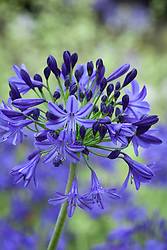 Agapanthus 'Northern Star'. African lily