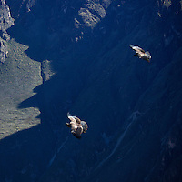 South America, Peru, Colca Canyon. Andean Condors in flight.