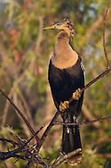 Anhinga - Anhinga anhinga - Adult female breeding