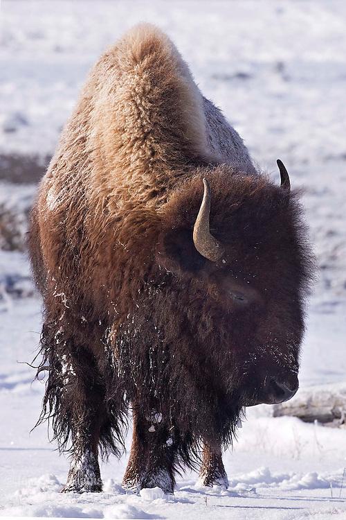 American Bison (Bison bison) - USA